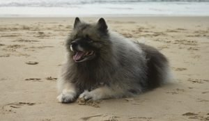 Afkomst - keeshond of spitze